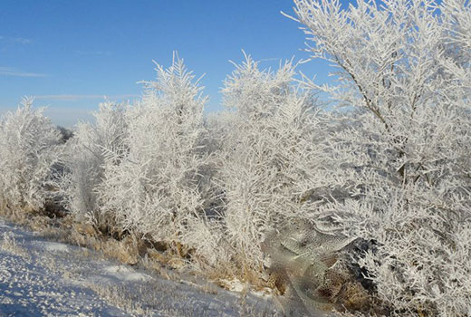 Frosted Trees.  © Sharon Silengo